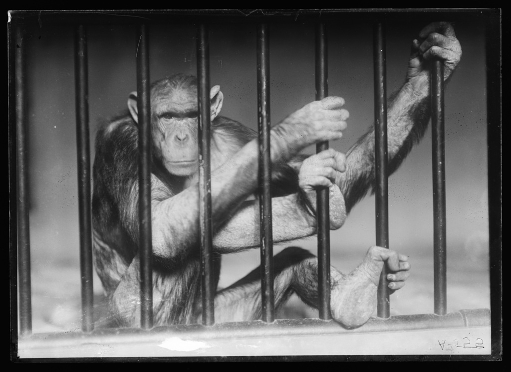 Black and white photograph of an ape behind bars.