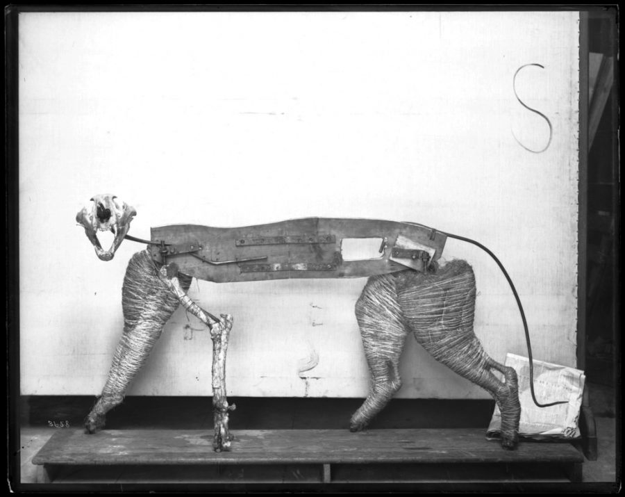 Taxidermy frame for tiger model for the United States National Museum.